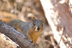 Écureuil de gris oriental Photos libres de droits