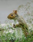 Écureuil de gris oriental Photos stock