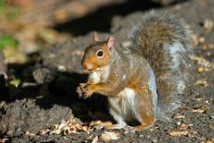 Écureuil de gris oriental Photo libre de droits