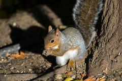 Écureuil de gris oriental Image libre de droits
