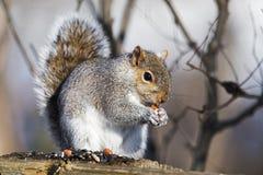 Écureuil de gris oriental photographie stock