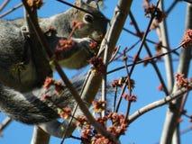 Écureuil de gris oriental Photo stock