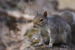 Écureuil de gris oriental (carolinensis de Sciurus) Photo stock