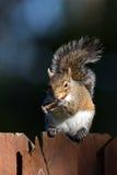 Écureuil de gris oriental, carolinensis de sciurus Image libre de droits