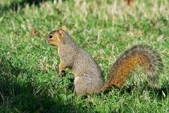 Écureuil de gris oriental recherchant des glands Photos stock
