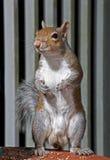 Écureuil de gris oriental sur l'alerte Photo libre de droits
