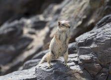 Écureuil de groud de Barbarie photos libres de droits