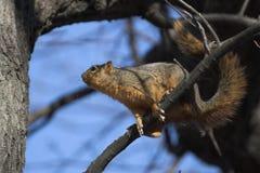 Écureuil de l'écureuil Image libre de droits