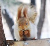 Écureuil de l'hiver Photos stock