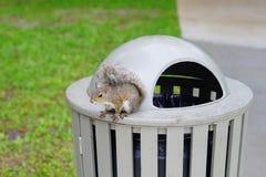 Écureuil de la Floride Photo libre de droits