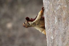 Écureuil de Malabar Photos stock