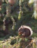 Écureuil de matin Photos stock