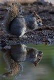 Écureuil de miroir Photos libres de droits