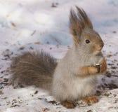Écureuil de petit déjeuner Image libre de droits