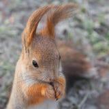 Écureuil de portrait avec de longues oreilles Photographie stock
