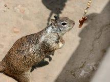 Écureuil de prière Images stock