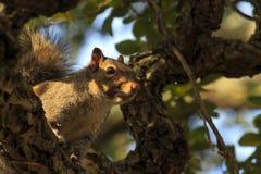 Écureuil de regarder Images stock