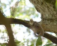 Écureuil de repos Photo libre de droits