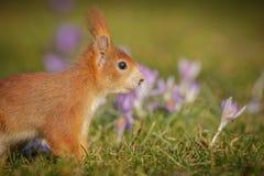 Écureuil de ressort images stock
