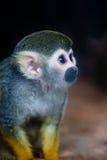 écureuil de singe photographie stock