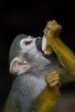 écureuil de singe images stock