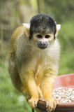 écureuil de singe Image stock