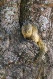Écureuil de Smith buisson en parc national de Kruger, Afrique du Sud Photo libre de droits