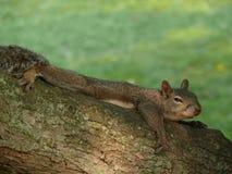 Écureuil de sommeil Photo libre de droits