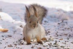 Écureuil de Sun Images libres de droits
