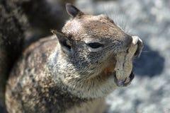 Écureuil de tamia mangeant une arachide Photographie stock libre de droits