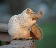 Écureuil de toilettage Image libre de droits