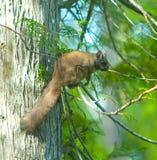 Écureuil de vol Photographie stock libre de droits