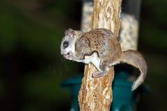 Écureuil de vol méridional Image libre de droits