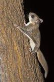 Écureuil de vol méridional image stock