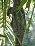 Écureuil de vol malaisien Images stock