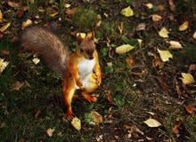 Écureuil debout curieux Images stock