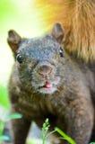 Écureuil drôle de visage photographie stock