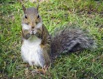Écureuil droit et alimentation photos stock