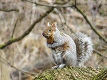 Écureuil du feu Photo stock