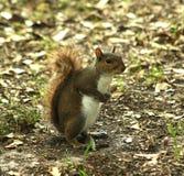 Écureuil du parc photos libres de droits