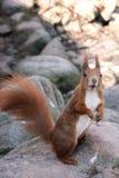 Écureuil effrayé regardant la caméra photos stock