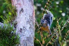Écureuil en Costa Rica image libre de droits