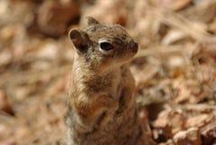 Écureuil en gorge de Bryce Photographie stock libre de droits