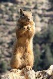 Écureuil en gorge grande Images stock