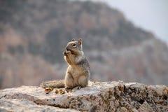 Écureuil en gorge grande Photos stock