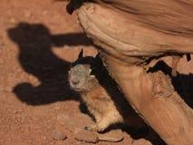 Écureuil en gorge grande Photo stock