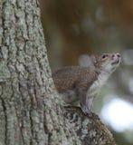 Écureuil en haut d'un arbre Photo libre de droits
