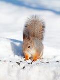 Écureuil en hiver photographie stock libre de droits