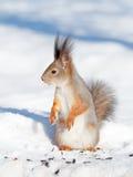 Écureuil en hiver images stock