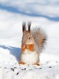 Écureuil en hiver photo stock